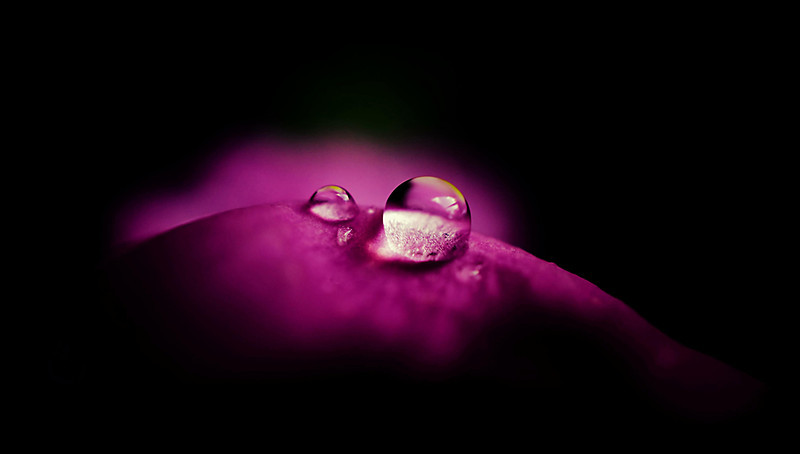 Raindrops on pink snapdragon petals edited for dramatic effect