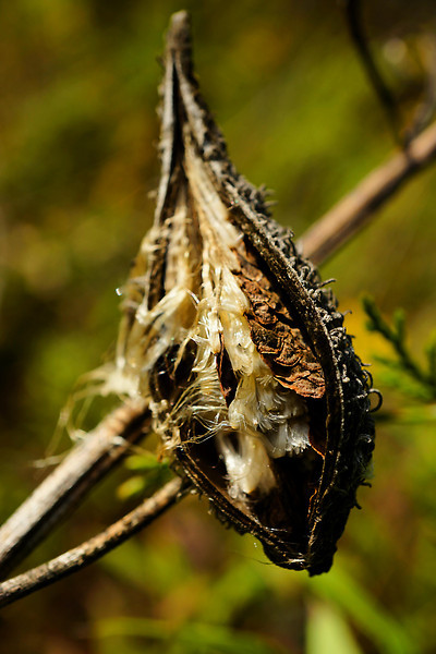 Dried milkweed pod with seeds