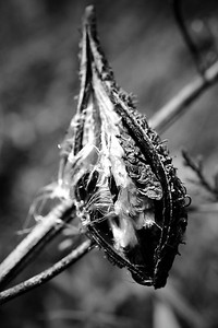 Dried milkweed pod with seeds in monochrome