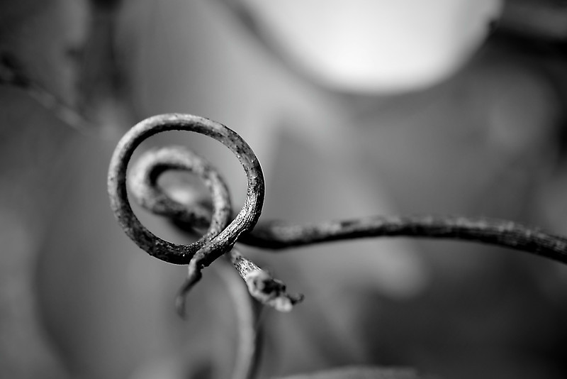 Dried grapevine macro in monochrome