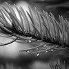 Raindrops on fir needles in monochrome