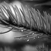 Raindrops on fir needles in monochrome
