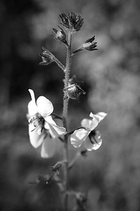 Small white flowers in monochrome