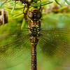 Upside down dragonfly on a fir tree