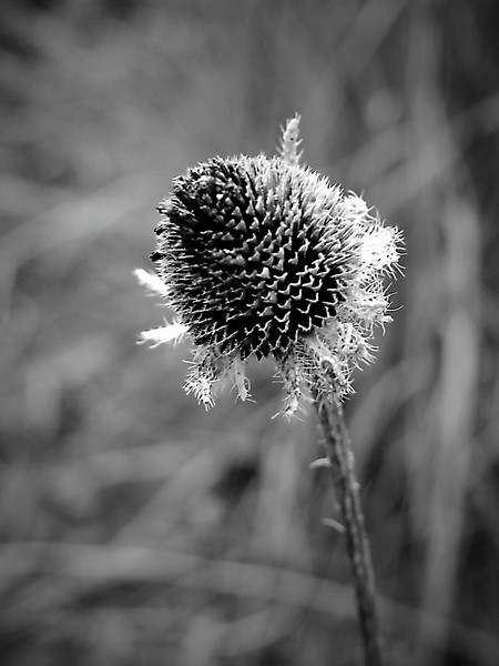 Dead coneflower in monochrome