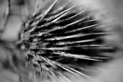 Dried thistle macro in monochrome