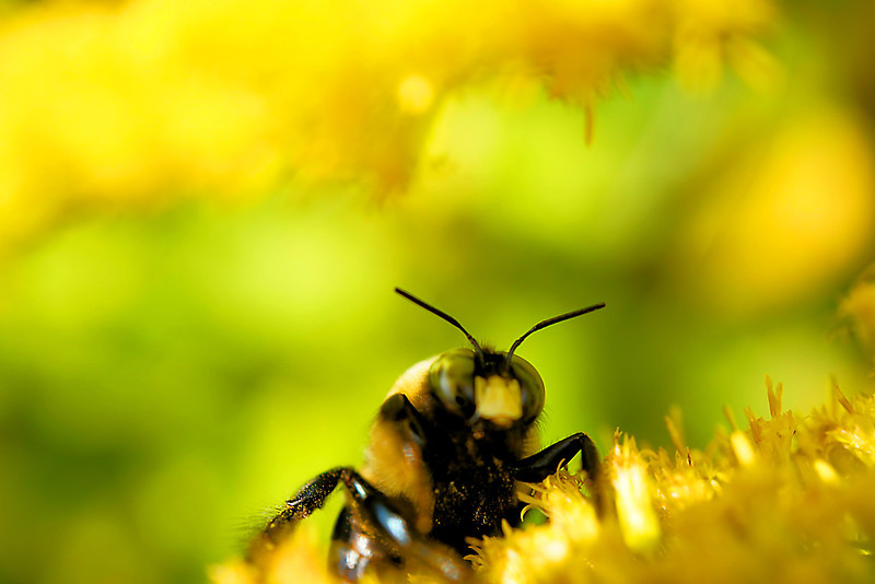 Macro bee on goldenrod