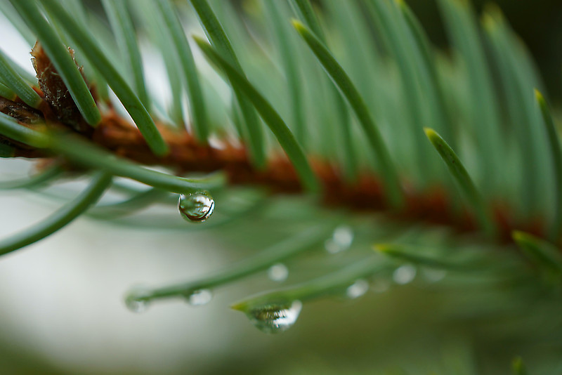 Raindrops on fir needles