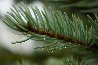 Raindrops on fir needles