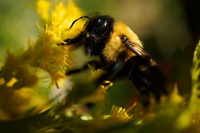 Macro bee on goldenrod