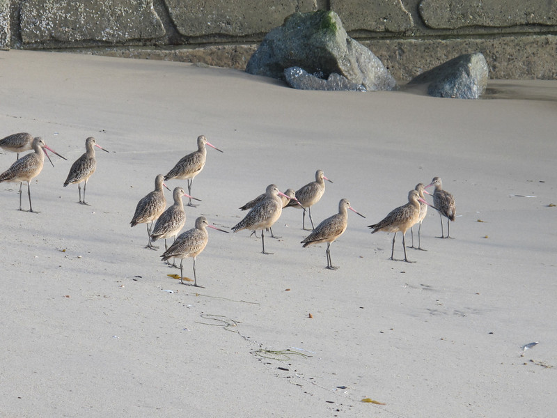 On the beach in LA.  Connie says they're sandpipers.  My bird book seems to indicate they are Marbled Godwits.  They sure have long pointy bills.