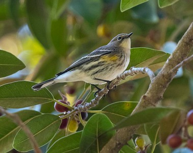 This bird looks a bit like a Myrtle Warbler, the eastern version of the Audubon's.  Together they are simply The Yellow-rumped Warbler