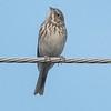 Vesper Sparrow 10-19-17 Tijuana River