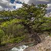 Craggy Mountain Tree
