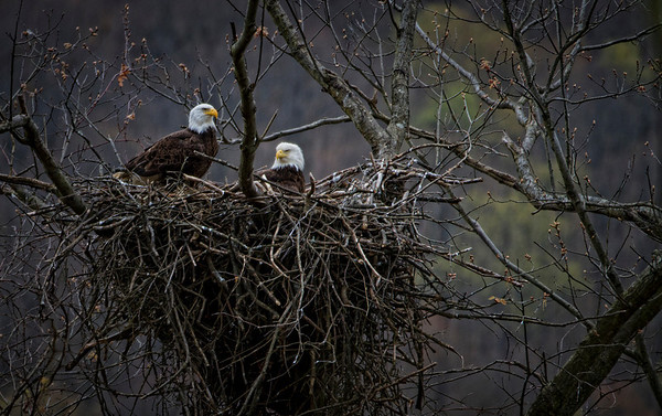 Oil Creek Bald Eagle Family