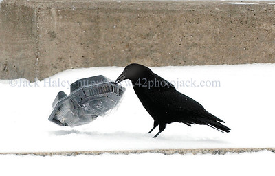 jhbirdmeal1 - A crow tries to get into a food container that fell out of a garbage can on the City Pier on Tuesday 2/7............