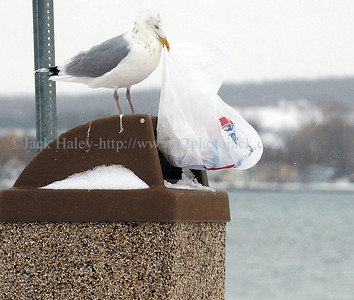 jhbirdmeal3 - ...........where a large seagull comes in and pulls out the food garbage.