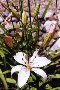 wht lily