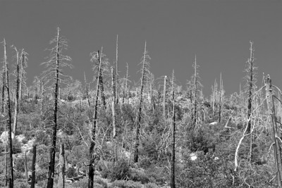 Regrowth after a fire in Yosemite, CA.