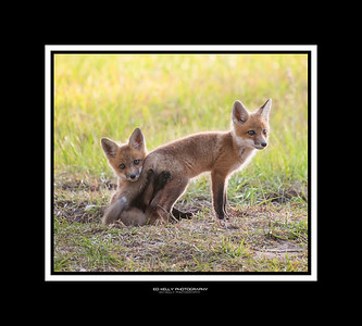 Oldfield Foxes