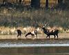 Elk 6299