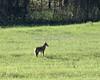 Coyote 1191