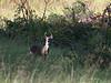Whitetail Deer 6075