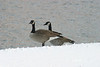 Canada Geese 0855