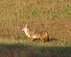 Coyote 6444