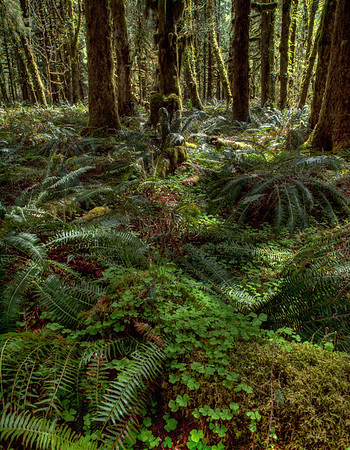 <center><b>Quinault Rain Forest - Olympic National Park</b></center><br><center>Another photograph of the rain forest on the north side of Lake Quinault.</center>