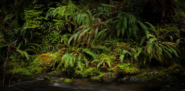 <center><b>Quinault Rain Forest - Olympic National Park</b></center><br>Along the south short of Lake Quinault is a collection of hiking trails which follow streams up to some nice waterfalls. In fact, the drive along the shore and up the river is filled with waterfalls. This photograph of some ferns was taken near a wooden bridge along one of the trails leading up into the forest.