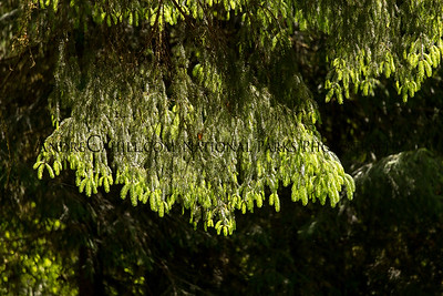 Douglas Fir Branch being backlit