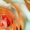 Pink Rose Macro<br /> OLYMPUS E500