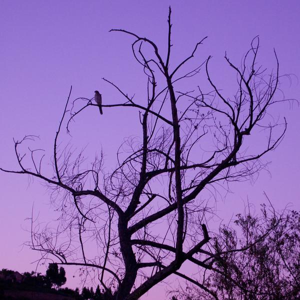 Raptor before sunrise