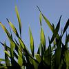 Tall blades of grass