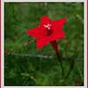 Tiny flower on cardinal vine