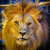 Handsome the Lion
