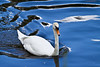 Swan with blue sky reflection<br /> River Wye, Herefordshire, UK