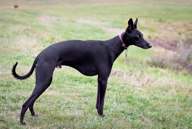 19 August 2011<br /> Our Whippet, Jack, on his 3rd birthday.