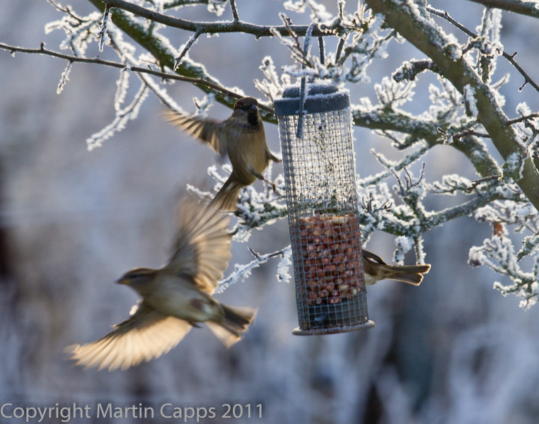 Sparrows vying for nuts on the feeder.