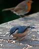 Nuthatch with robin.