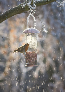 Robin on nut feeder.  This was taken last during heavy frost, witl a long lens from the warmth of the living room.