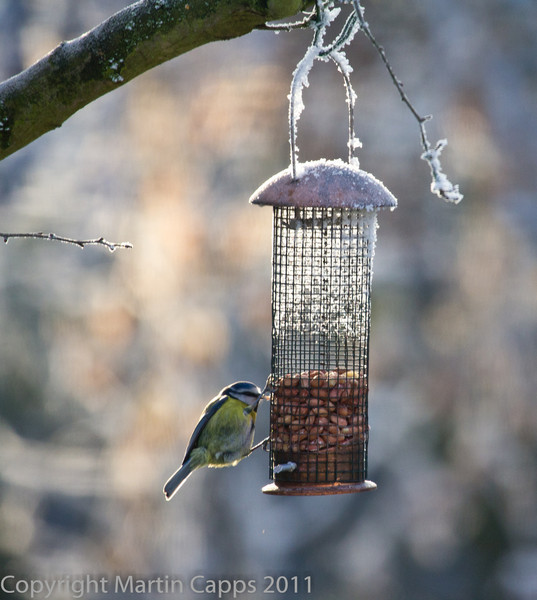 Blue Tit in feeder during cold snap.