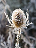 Teasel in the frost.