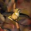 "3.31.12 ""Stretching the Wings"" Beautiful little guy at full size."
