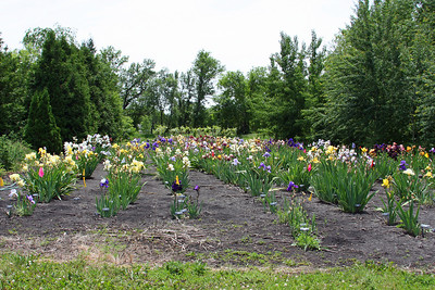 Iris Heaven - part of the irises at NDSU.  So many beautiful varieties!
