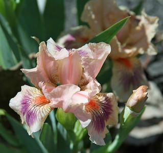 Kiwi Capers - standard dwarf bearded iris.