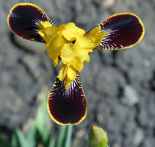 A different looking iris...