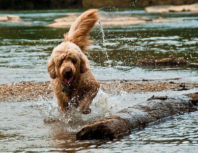Cody the Goldendoodle in the Chattahoochee River