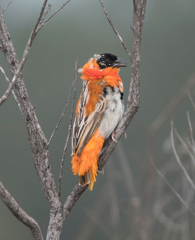 Orange Bishop Male - in ugly molt!